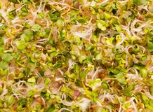 Fresh radish sprouts close up. The healthy diet. Close up radish sprouts Stock Images
