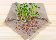 Fresh radish sprouts on a wooden background. Concept of healthy diet. Closeup - radish sprouts on a wooden background Royalty Free Stock Images