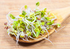 Fresh radish sprouts on a wooden background. Concept of healthy diet. Closeup - radish sprouts on a wooden background Stock Photos
