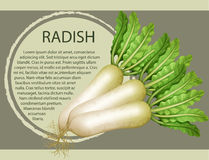 Fresh radish with text design Royalty Free Stock Photography