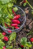 Fresh radish vegetables harvest crop in the garden outdoors. Still life fresh radish vegetables harvest crop in the garden outdoors Royalty Free Stock Image