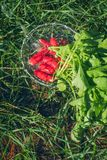 Fresh radish vegetables harvest crop water washing in the garden. Outdoors Stock Photos