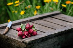 Fresh radish on a wooden box in the home garden. Green background from flowers and grass. Organic fresh vegetables. Royalty Free Stock Image