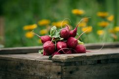 Fresh radish on a wooden box in the home garden. Green background from flowers and grass. Organic fresh vegetables. Royalty Free Stock Photography
