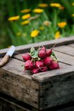 Fresh radish on a wooden box in the home garden. Green background from flowers and grass. Organic fresh vegetables. Fresh radish on a wooden box in the home Stock Photos