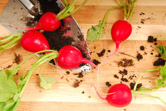 Fresh radishes. Radishes freshly dug from the ground resting on a cutting board Royalty Free Stock Photography