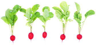 Fresh radishes. On a white background Stock Images