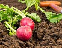 Fresh Radishes. Freshly harvested organic radishes laying on garden soil Stock Images