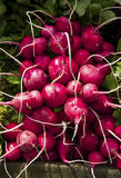 Fresh radishes. A bunch of fresh radishes Stock Photography