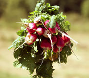 Fresh radishes. Bunch of ripe fresh radishes on summer nature background Stock Photography