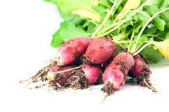 Fresh radishes. Bunch of fresh radishes on white with soft shadow Stock Images