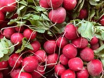 Fresh Radishes are an edible root vegetable with a pungent taste. Red Radishes. Fresh royalty free stock photos