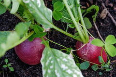Fresh radishes from the garden. Beautiful fresh radishes from the garden home Royalty Free Stock Photography