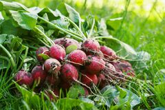 Fresh radishes on the grass in the garden on a sunny day.  Royalty Free Stock Image