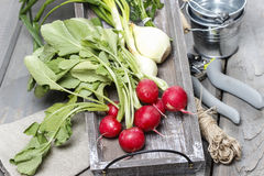 Fresh radishes from ground on old wooden table. Fresh radishes. Gardener's accessories around Royalty Free Stock Image