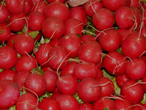 Fresh radishes harvested on the farm. Close-up Stock Photos