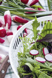 Fresh radishes and lettuce, arugula, watercress, chives. Fresh radishes and lettuce, arugula, watercress, Swiss chard, chives Royalty Free Stock Image