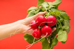 Fresh radishes link held in hand. On red background Stock Photos
