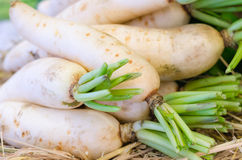 Fresh radishes in market. Radish selective focus blur background,white radish Stock Photography