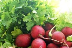 Fresh radishes and parsley. Freshly harvested round radishes and parsley leaves Stock Photo