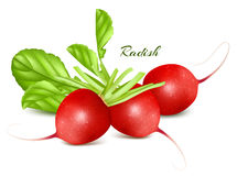 Fresh radishes. Royalty Free Stock Image
