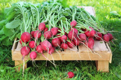 Fresh radishes with tops on the box lies on a grass background. Work in the garden, harvesting Royalty Free Stock Images