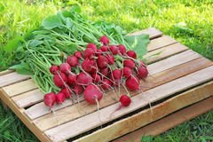 Fresh radishes with tops on the box lies on a grass background. Work in the garden, harvesting Stock Images