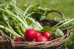 Fresh radishes with tops in a wicker basket on a wooden table Royalty Free Stock Images