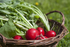 Fresh radishes with tops in a wicker basket on a wooden table. Outside on a sunny day Stock Photography