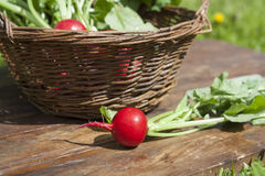 Fresh radishes with tops in a wicker basket on a wooden table Stock Photography
