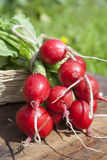 Fresh radishes with tops in a wicker basket on a wooden table. Outside on a sunny day Royalty Free Stock Photos