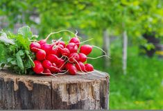 Fresh radishes with tops on a wooden stump sunny day Royalty Free Stock Photography