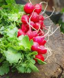 Fresh radishes with tops on a wooden stump sunny day Royalty Free Stock Photo