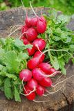 Fresh radishes with tops on a wooden stump sunny day Stock Photography