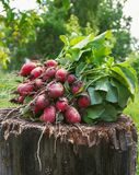 Fresh radishes two with tops on a wooden stump sunny day.  Royalty Free Stock Images
