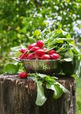 Fresh radishes two with tops on a wooden stump sunny day.  Royalty Free Stock Photos
