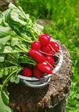 Fresh radishes two with tops on a wooden stump sunny day.  Stock Image