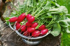 Fresh radishes two with tops on a wooden stump sunny day.  Stock Photo