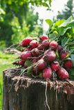 Fresh radishes two with tops on a wooden stump sunny day.  Stock Photography