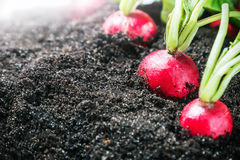 Fresh radishes in vegetable garden or a field. Harvest radishes Stock Photography