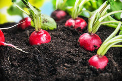 Fresh radishes in vegetable garden or a field. Harvest ripe radishes Royalty Free Stock Photography