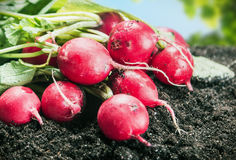Fresh radishes in vegetable garden or a field. Harvest ripe radishes Stock Photography