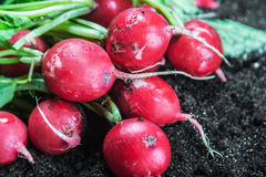 Fresh radishes in vegetable on the ground Stock Photo