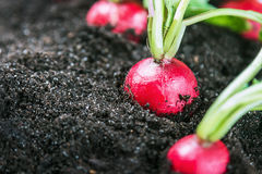 Fresh radishes in vegetable on the ground in the field. Harvest radishes Royalty Free Stock Photo