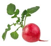 Fresh radishes. On white Stock Photography