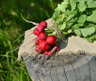 Fresh radishes on wood. Rural still life with fresh and juicy radishes on wooden background Stock Photos