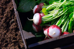 Fresh radishes in wooden box Royalty Free Stock Image