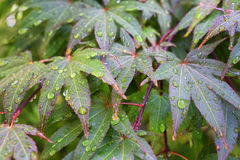 Fresh rain drop on japanese maple leafs Royalty Free Stock Photos