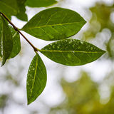 Fresh rain drops. On leaves close up Stock Photo