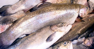 Fresh rainbow trout. In the early morning at fish market Royalty Free Stock Photography